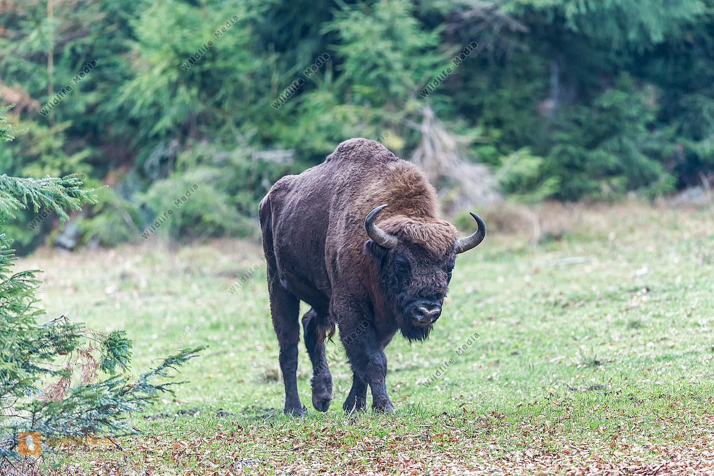 Wisent Bison bonasus Bison