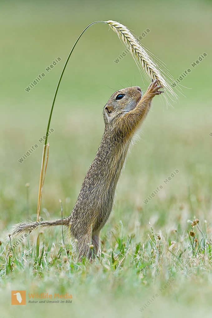 Ziesel Spermophilus citellus European ground squirrel