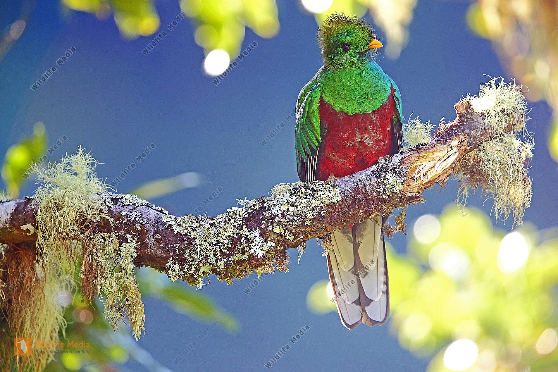 Quetzal Junges Männchen