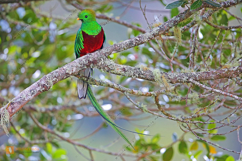 Quetzal Männchen