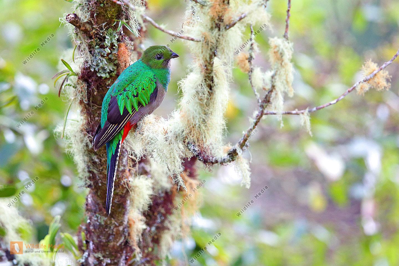 Quetzal Weibchen