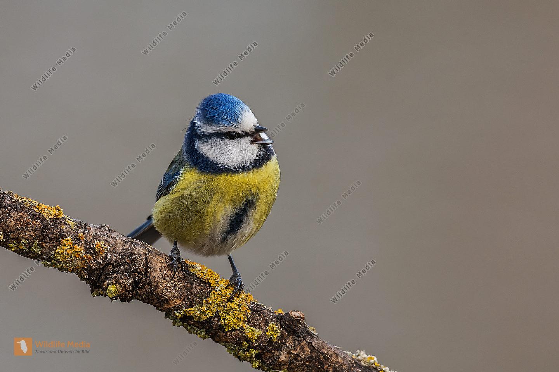 Blaumeise Parus caeruleus Blue Tit