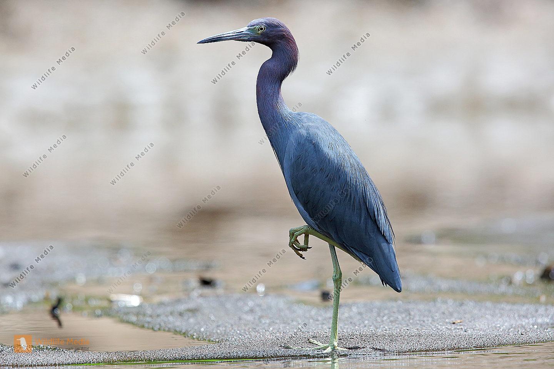 Blaureiher