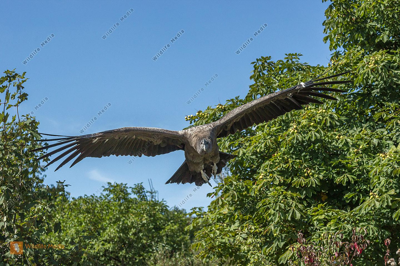 Aufgenommen während einer Flugschau der Falknerei im Wildpark Potzberg