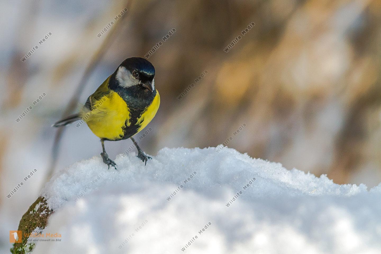 Kohlmeise auf Nahrungssuche im Schnee am Beeder Fischweiher.