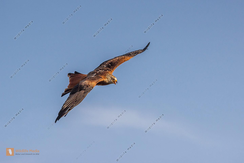 Fliegender Rotmilan auf Nahrungsuche