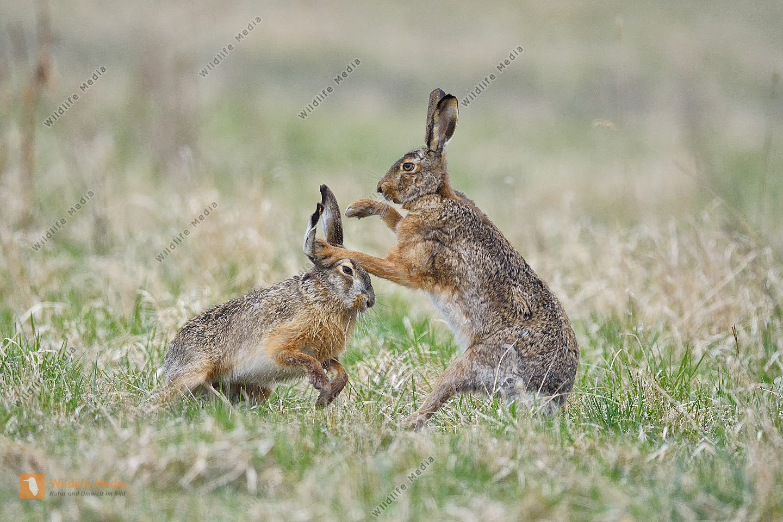 Feldhase Lepus europaeus rabbit