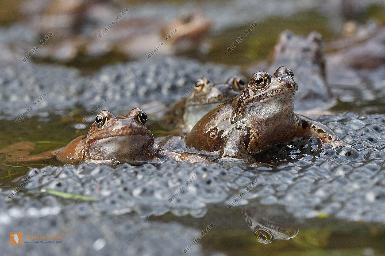 Grasfrosch Rana temporaria Grass Frog