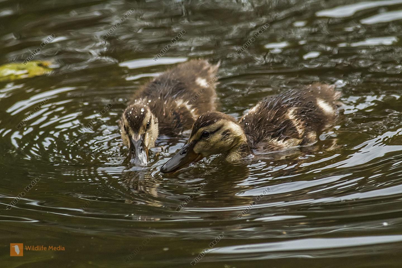Junge Stockenten auf dem Wasser