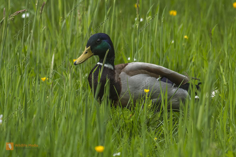 Stockenten-Männchen im Gras