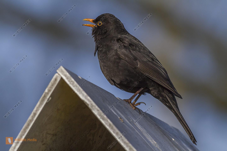 Amsel auf dem Dach eines Futterhäuschens