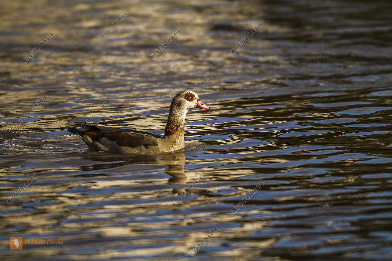 Nilgans auf dem Wasser