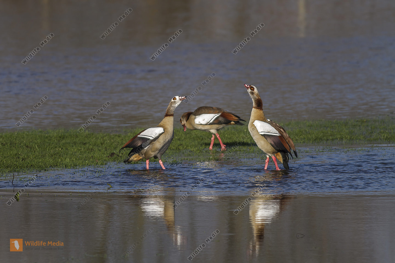 Nilgänse am Schwarzweihergraben in Beeden