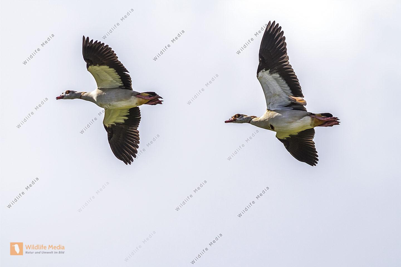 Zwei Nilgänse im Flug