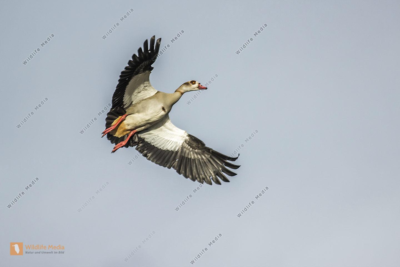 Nilgans setzt zur Landung an
