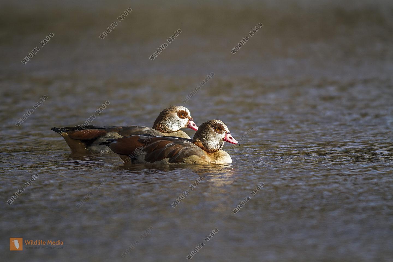 Zwei Nilgänse auf dem Wasser