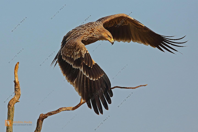 Kaiseradler Jungvogel
