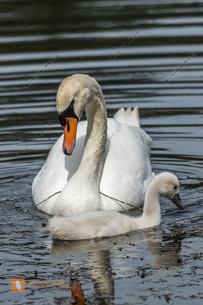 Höckerschwan mit seinem Jungen