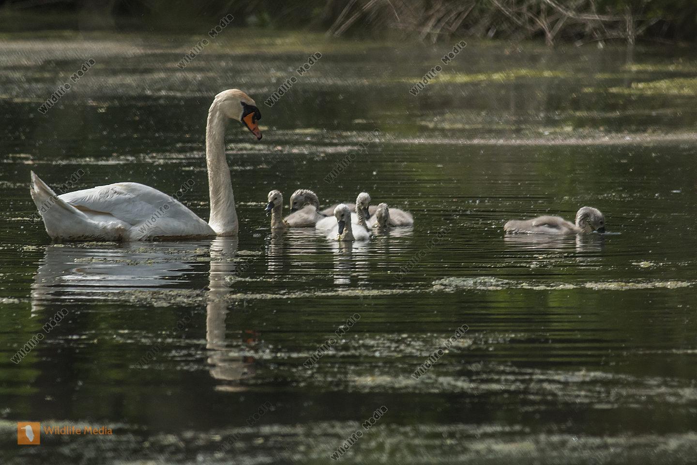 Höckerschwan mit seinen Jungen