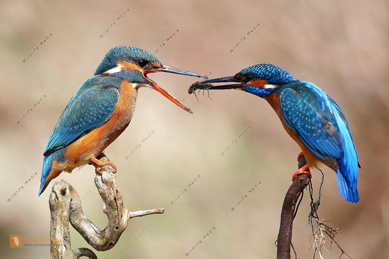 Eisvogelwerbung mit Libellenlarve!!!