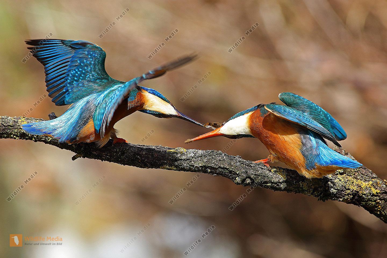 Eisvogelwerbung