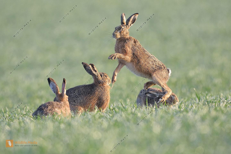 Feldhase Lepus europaeus European hare