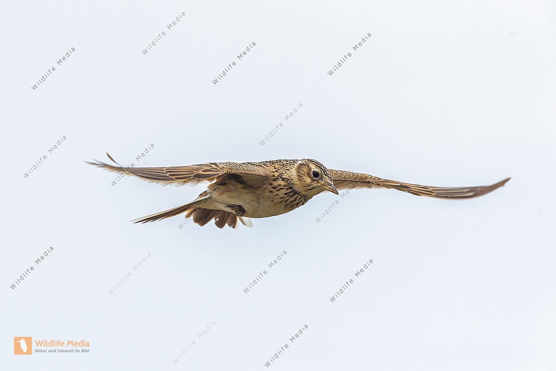 Feldlerche Alauda arvensis Eurasian Sky Lark