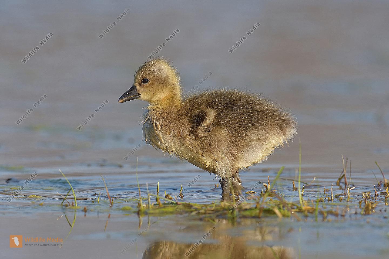 Graugans Anser anser Greylag Goose