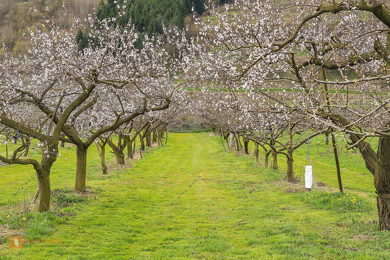Marillenbaum Prunus armeniaca  Apricot trees