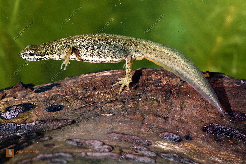 Teichmolch Weibchen