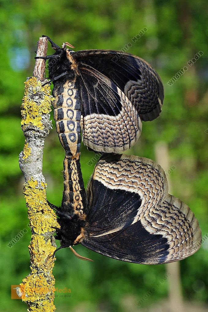 Sibirischer Brahmaspinner Paarung