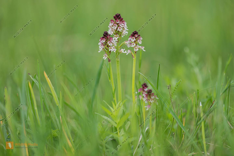 Brandknabenkraut Orchis ustulata Burnt Orchid