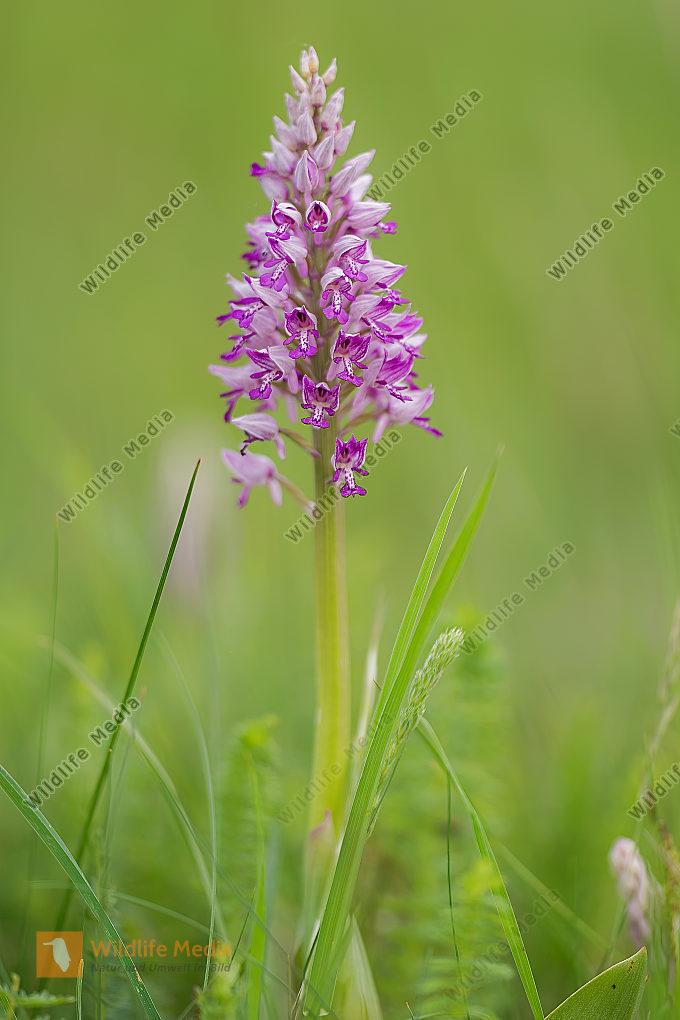 Helmknabenkraut Orchis militaris Military Orchid
