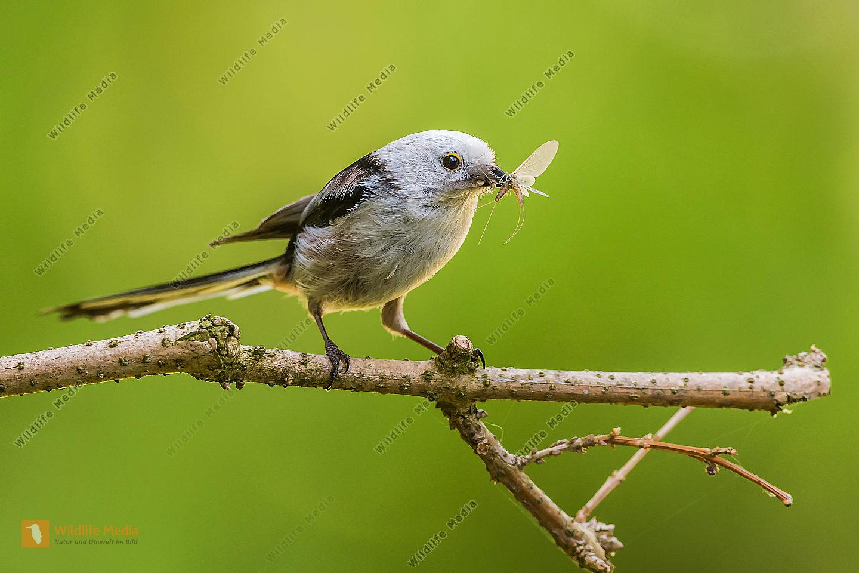 Schwanzmeise Aegithalos caudatus Long-tailed Tit