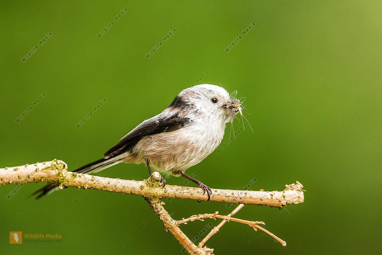 Schwanzmeise Aegithalos caudatus male |Long-tailed Tit