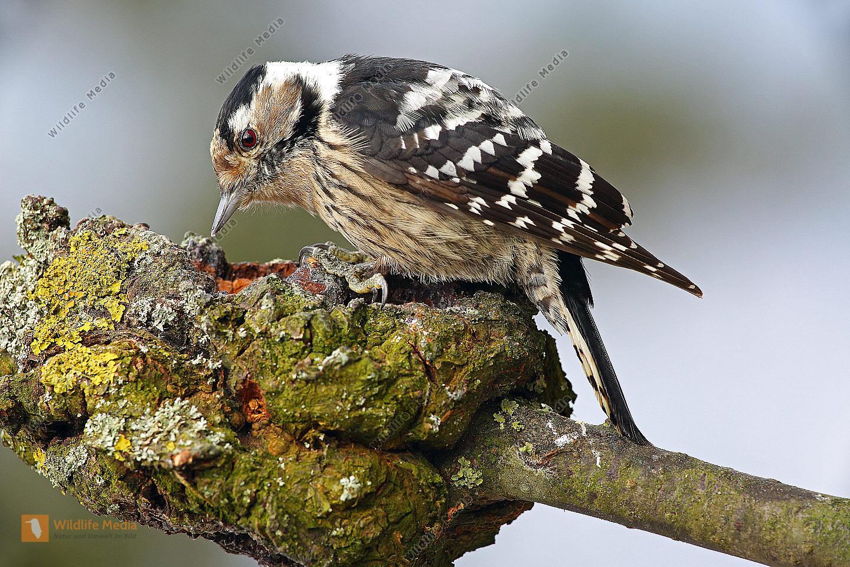 Kleinspecht Weibchen