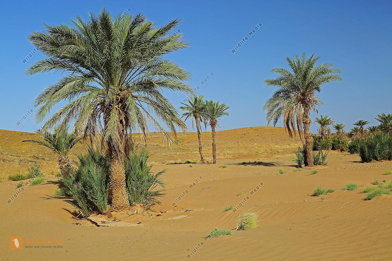 Sandwüste mit Dattelpalmen