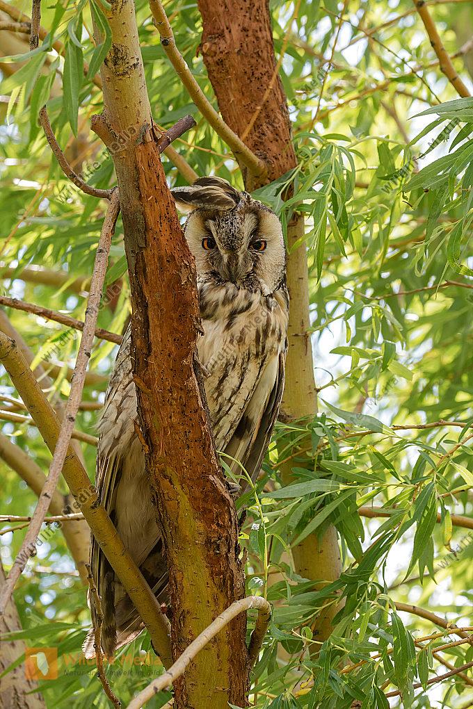 Waldohreule Asio otus Long-eared Owl