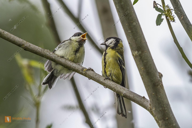 Hungrige junge Kohlmeise mit Altvogel