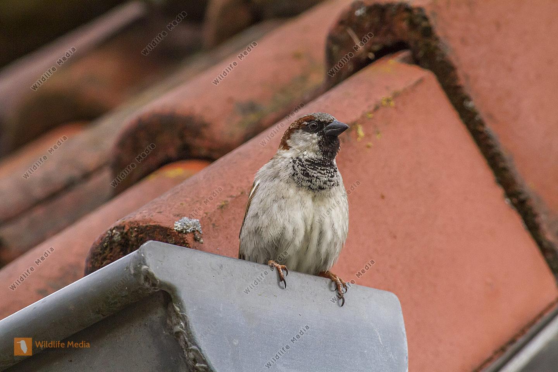 Haussperling sitzt auf dem Dach