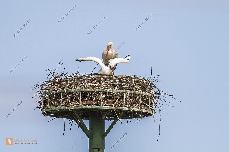 Weißstorch bei der Brutpflege