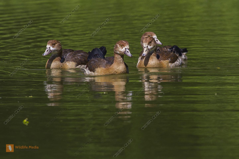 Junge Nilgänse auf dem Teich