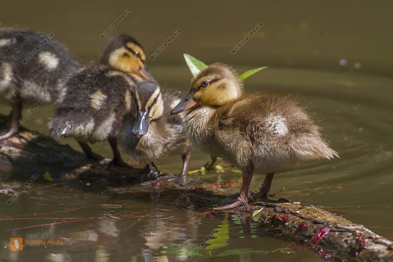 Junge Stcokente auf dem Wasser
