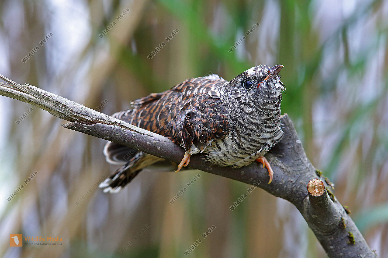 Kuckuck Jungvogel