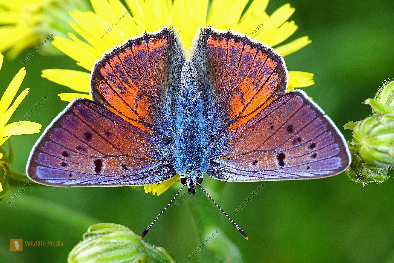 Violetter Feuerfalter Männchen