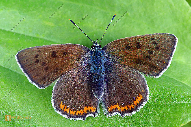Violetter Feuerfalter Weibchen