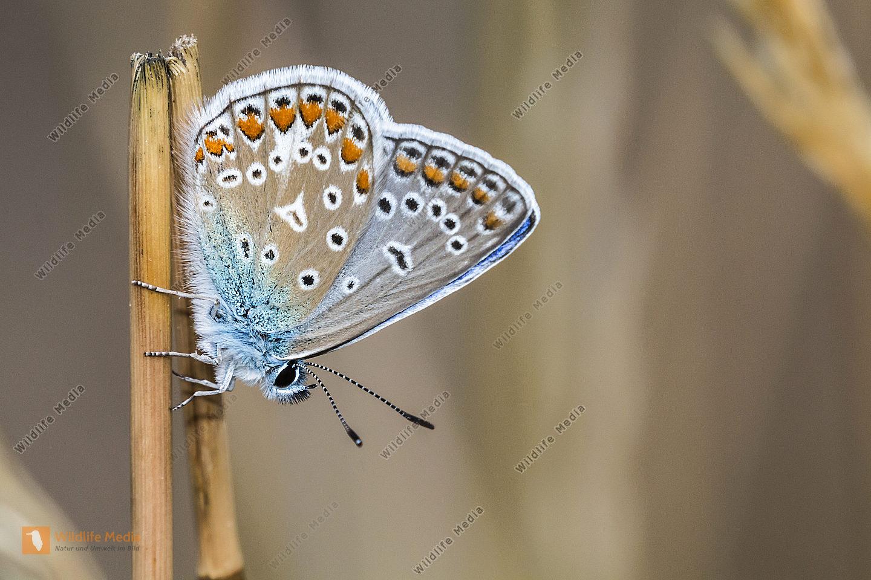 Ruhender Blauhechelbläuling