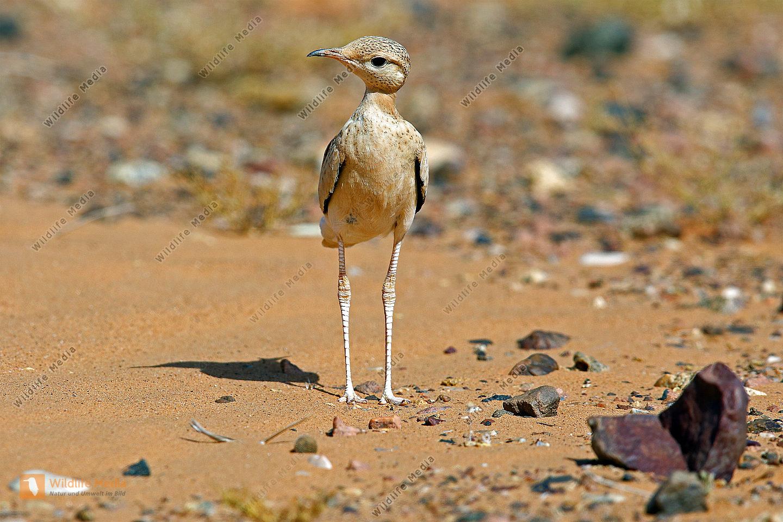 Rennvogel Jungtier