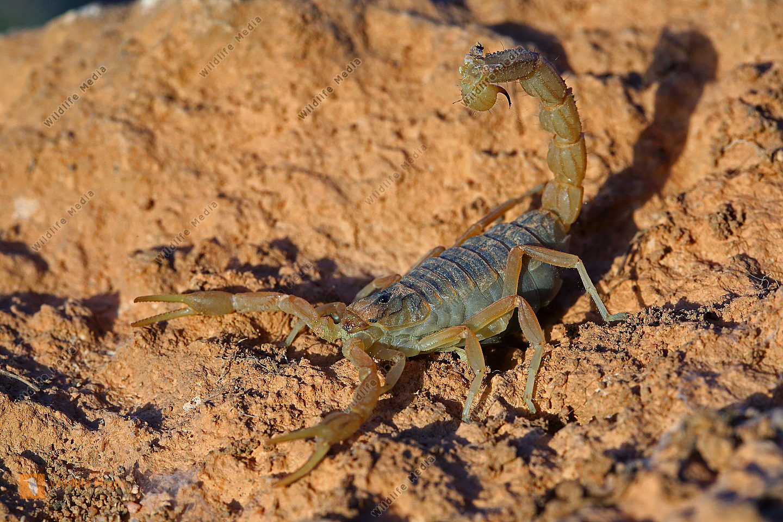 Gelber Skorpion