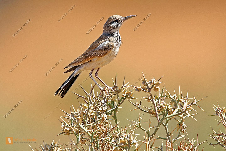 Wüstenläuferlerche